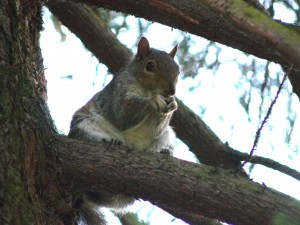 Squirrel-Abingdon-Gardens