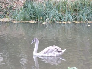 october-cygnet-Abingdon