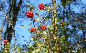 Black bryony, Fleet Pond