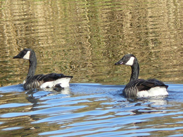 Canada geese, Fleet Pond, Hampshire