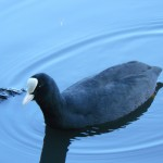 Coot, Fleet Pond, Hampshire