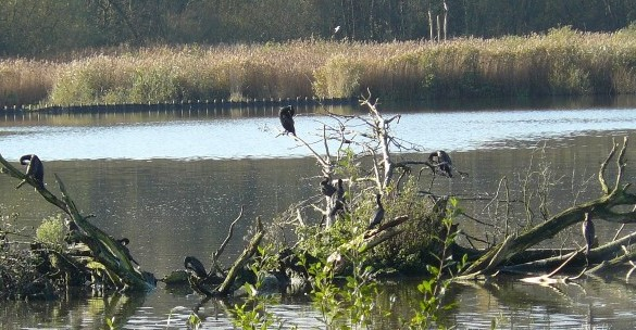 Cormorant island, Fleet Pond, Hampshire