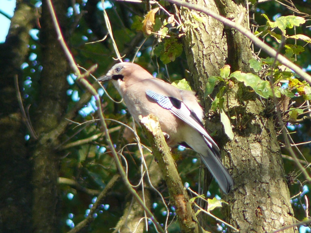 Jay, Fleet Pond, Hampshire