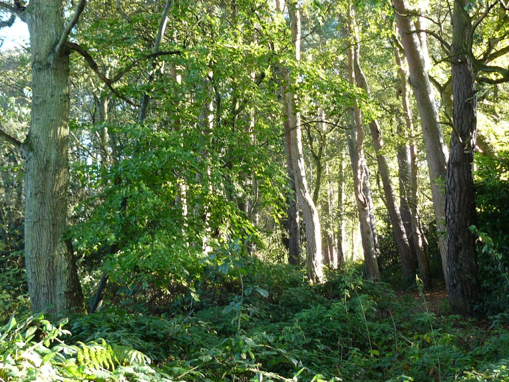 Woodland at Fleet Pond, Hampshire