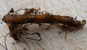 Anemone nemorosa robinsaniana rhizome