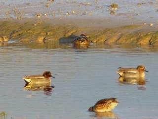 Teals-Pagham-harbour