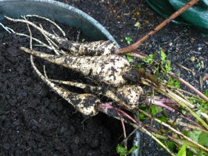 November parsnips from a pot