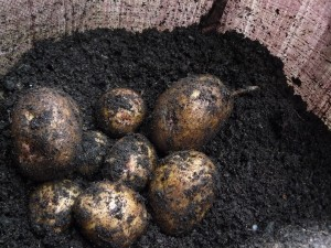 November potatoes, Cara variety, from a sack