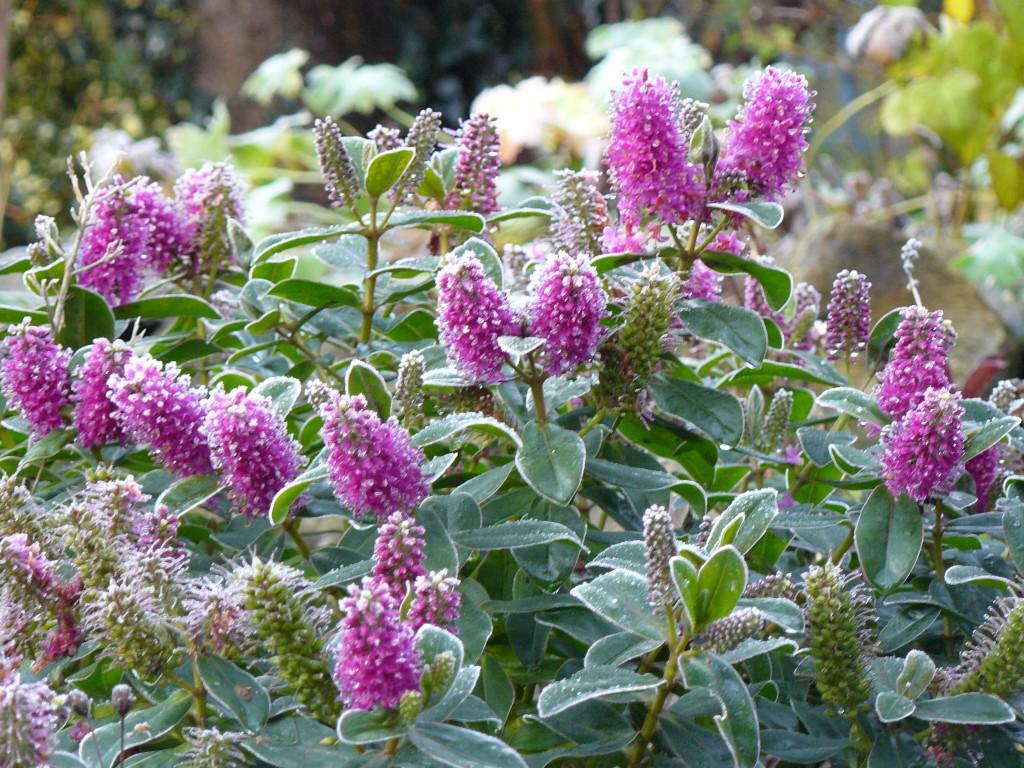 December-flowering hebe