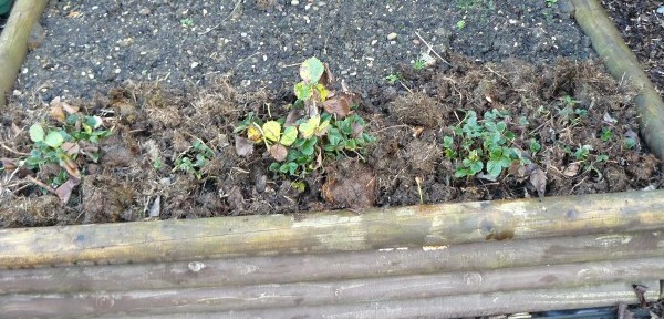 Strawberry plants - tidied and mulched