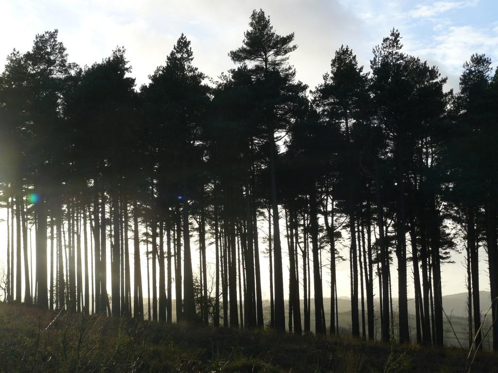 The conifers of Croydon HillThe conifers of Croydon Hill