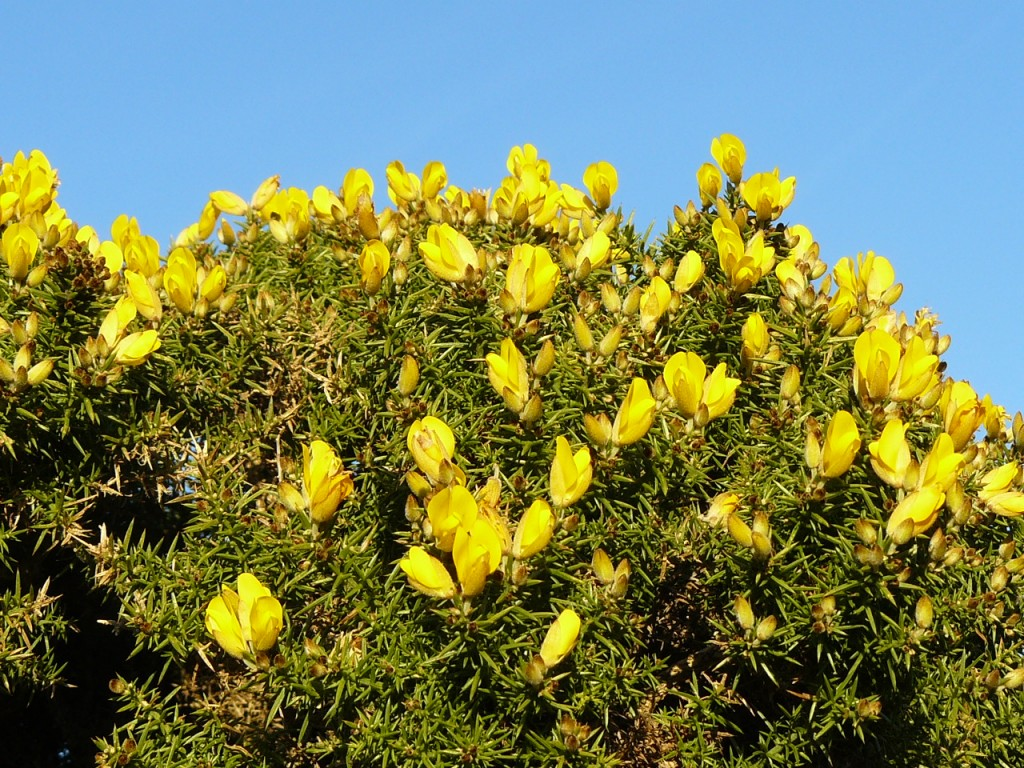 The gorse bushes of Exmoor (in winter bloom)