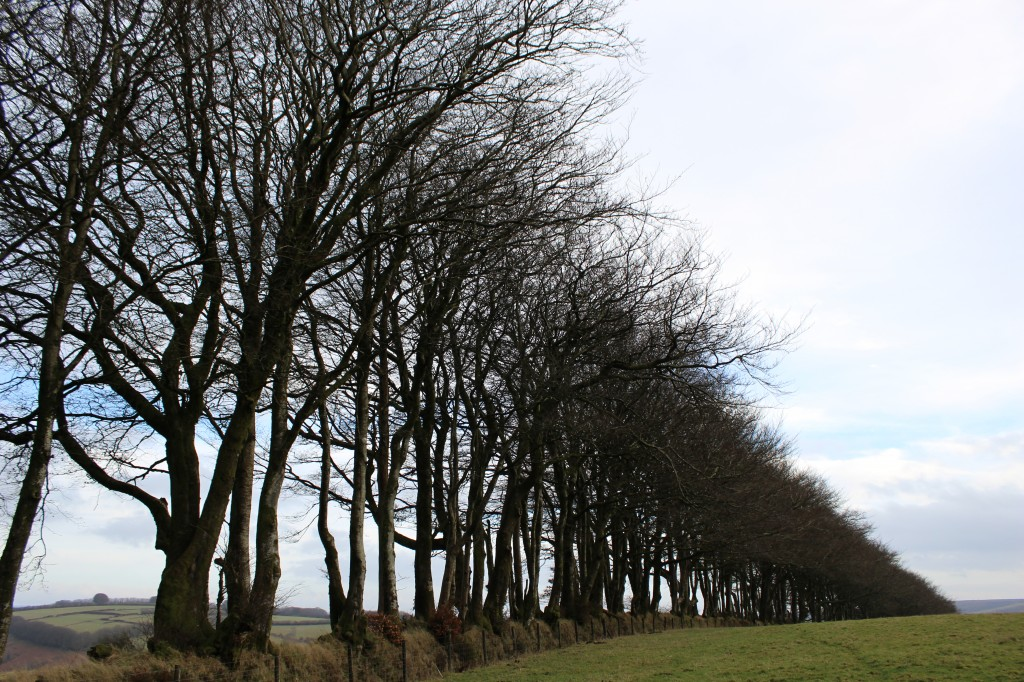 Beech tree boundary, near Exford