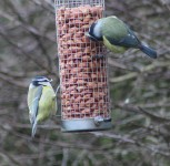 Blue tits - Big Garden Birdwatch