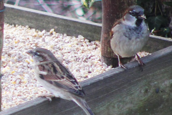House sparrows - Big Garden Birdwatch