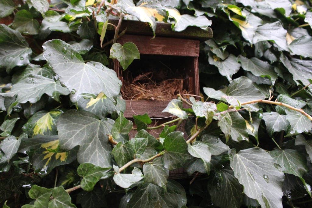 Robin nest box nestled in ivy