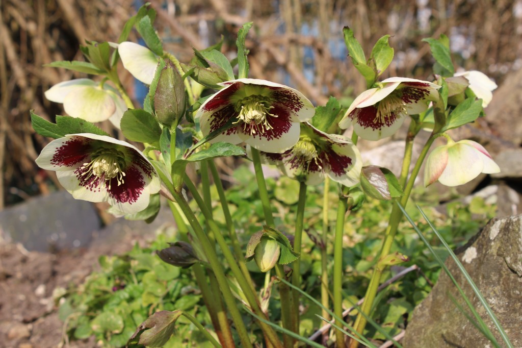 Helleborus blooms in April