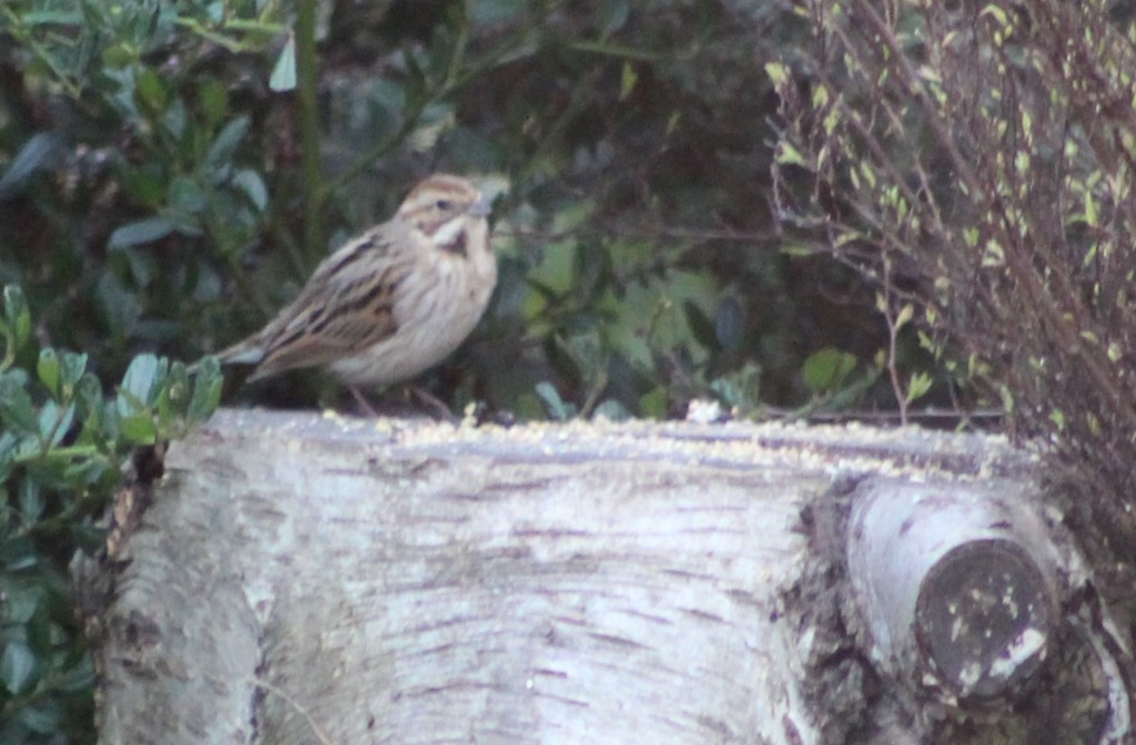 Female reed bunting, feeding in isolation away from the house