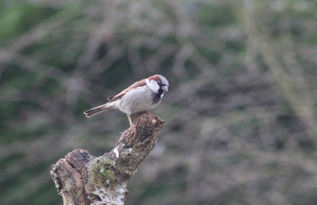 Male house sparrow in breeding plumage