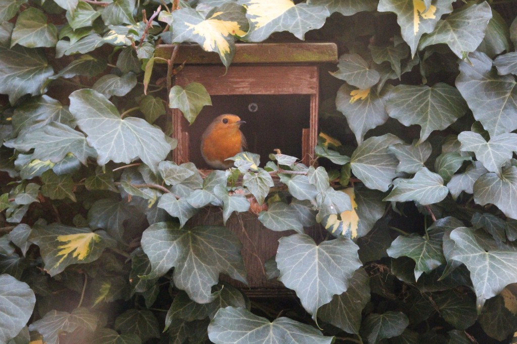 Female robin, starting the nest building process
