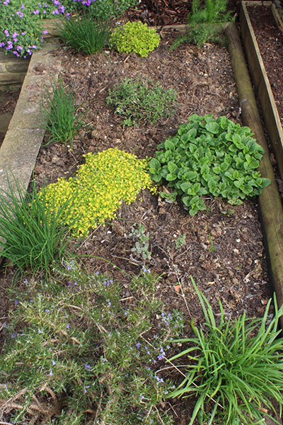 The herb garden is springing back into life