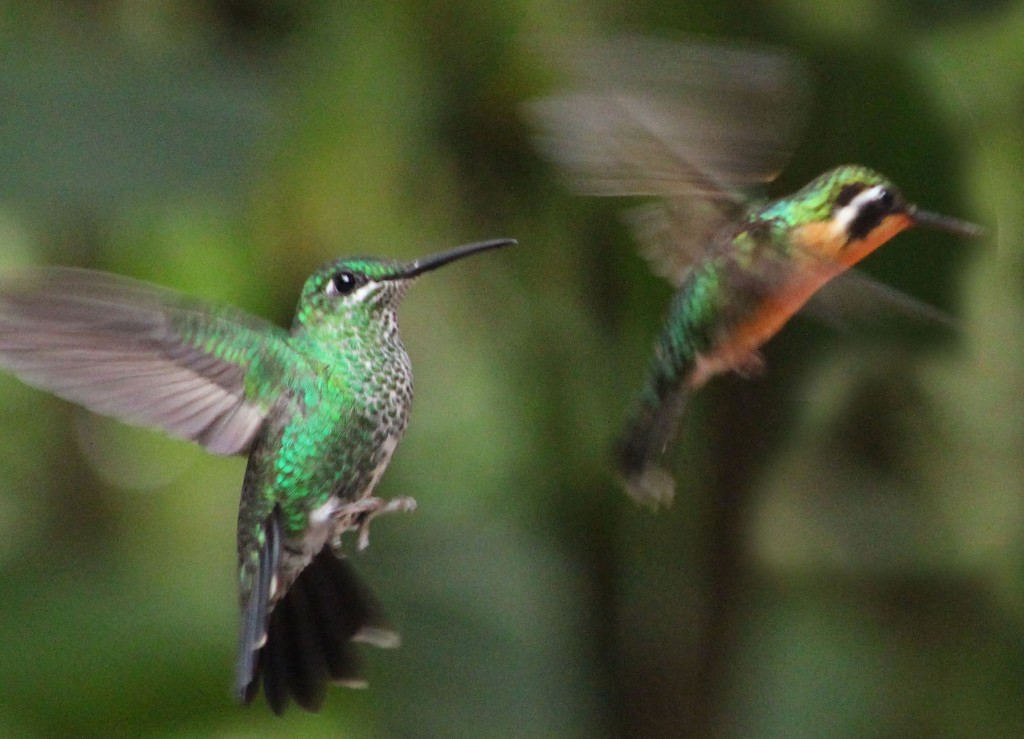 Humming birds in flight