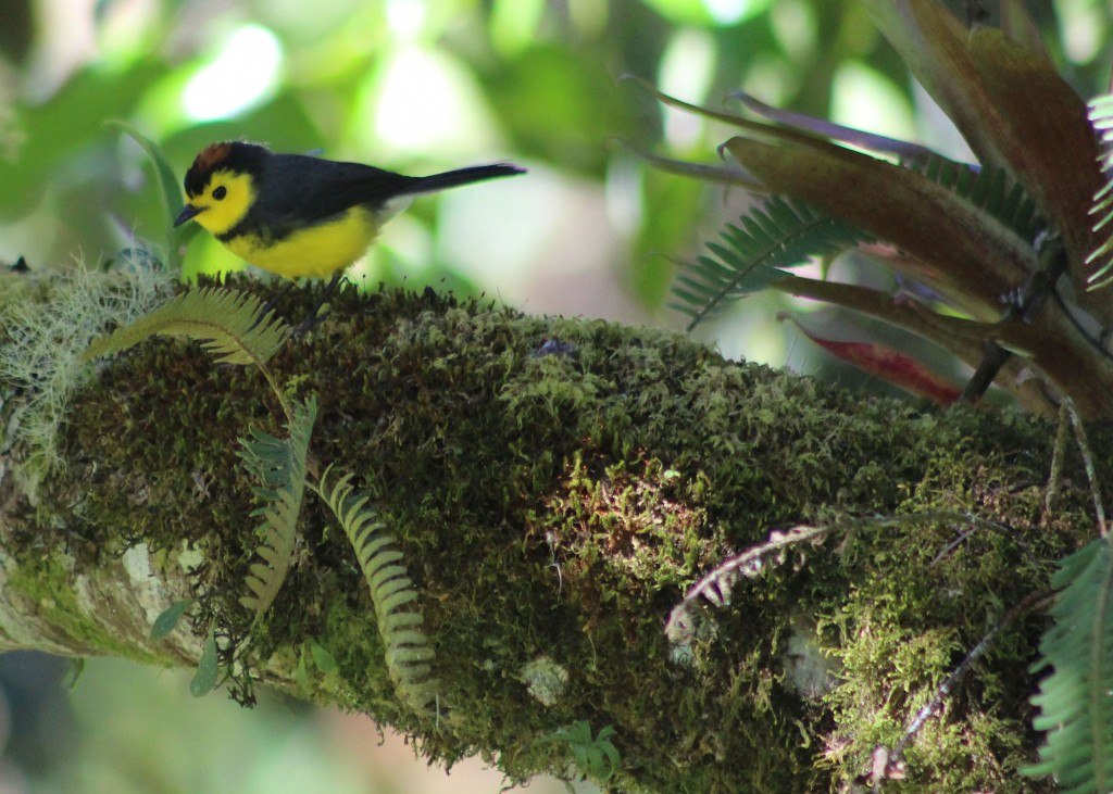 A collared redstart foraging for insects on a mossy branch