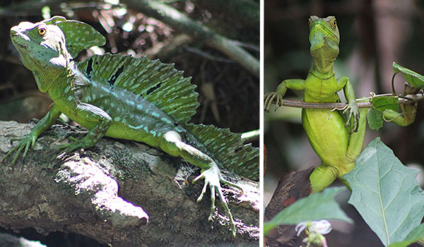 Green baselisk lizards, Costa Rica