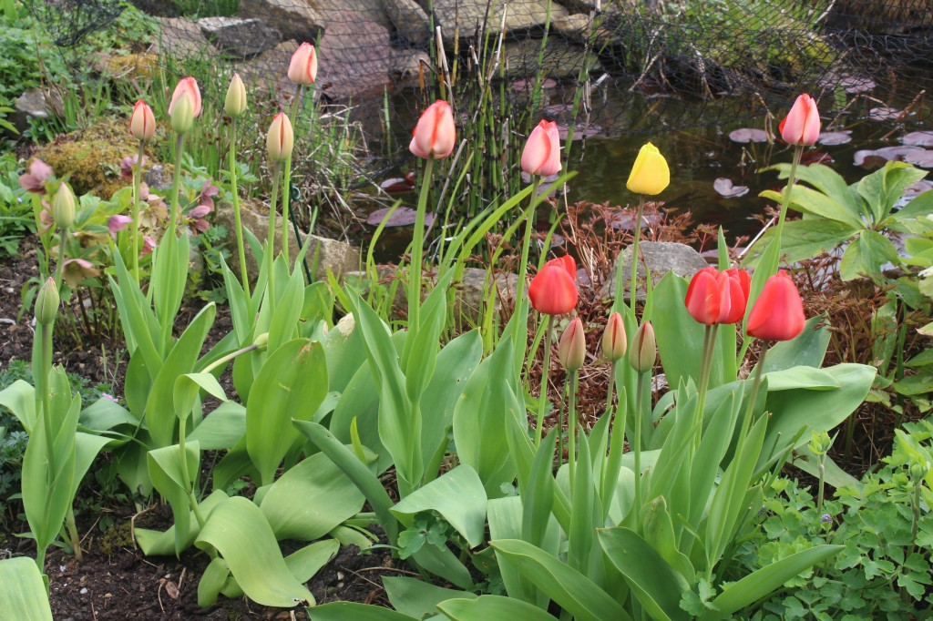 The early unfoldings of tulips splash the garden with vibrant colour