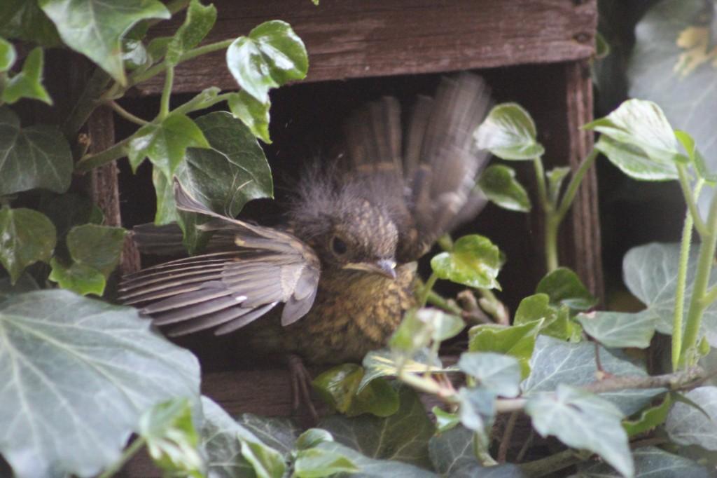 Robin fledging