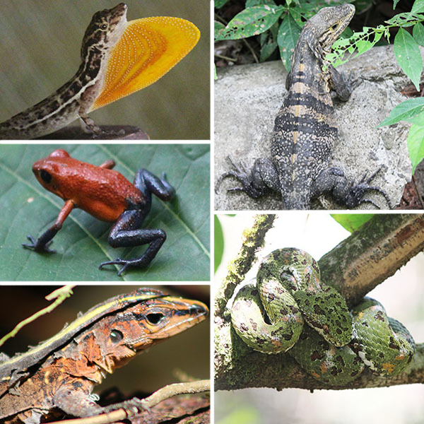 Lizards, frogs and snakes of Costa Rica