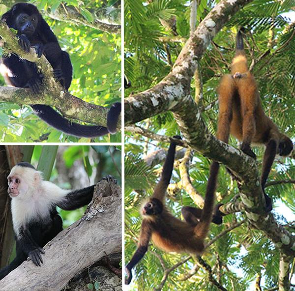 The monkeys of Costa Rica