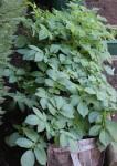 Potato sacks in leaf