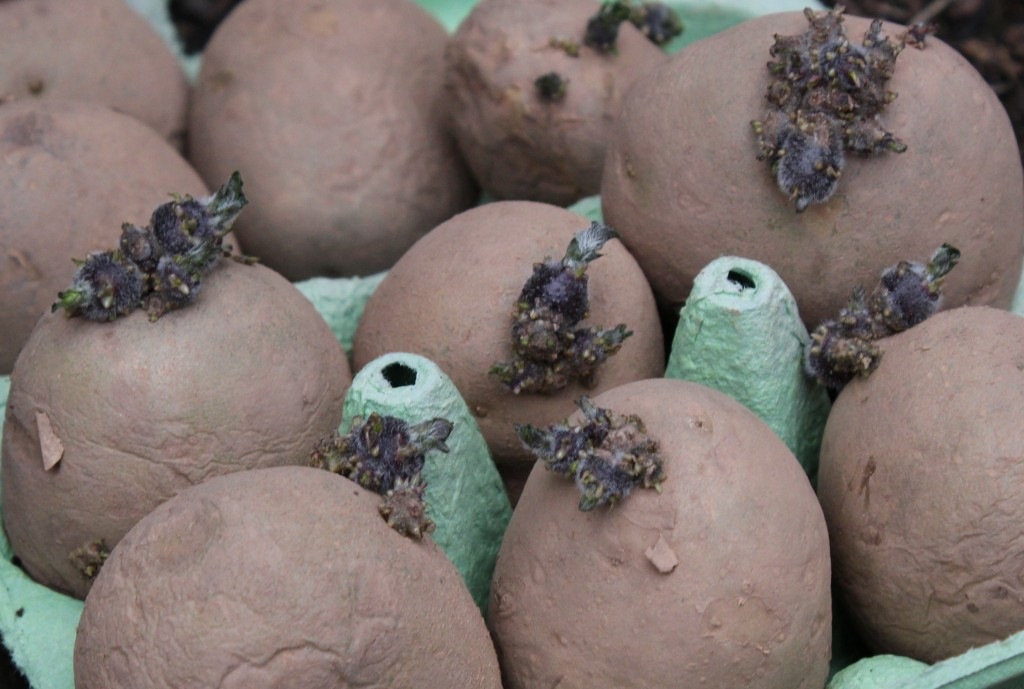 Chitted potatoes, ready to plant