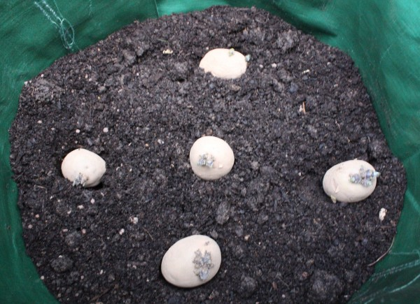 Five seed potatoes per sack