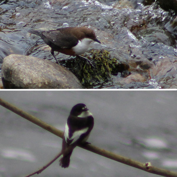 Dipper and pied flycatcher