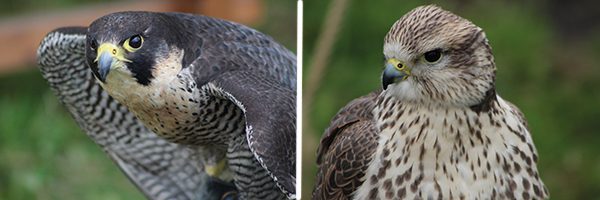 Peregrine falcon and Saker falcon