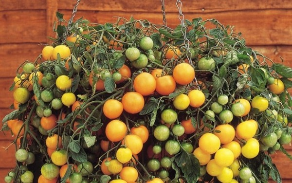 Yellow Tumbling Tom tomatoes in hanging basket