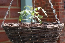 Tumbling Tom tomato planted in hanging basket
