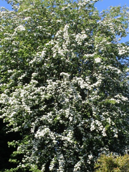 Hawthorn tree covered in blossom