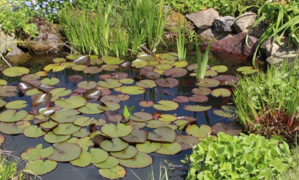 Spring proliferation of lily pads