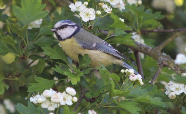 Blue tit in hawthorn tree