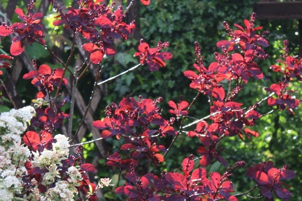 Cotinus smoke tree