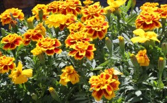 Blooming marigolds, ready to plant out