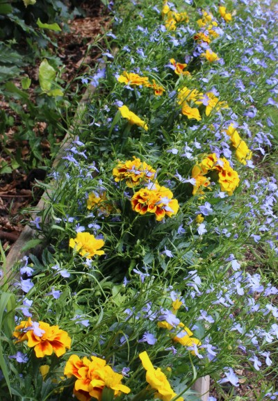 Marigolds in situ, adding a much-needed splash of summer colour throughout the garden