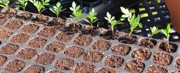 Planting seedlings into modules - a slow and laborious process