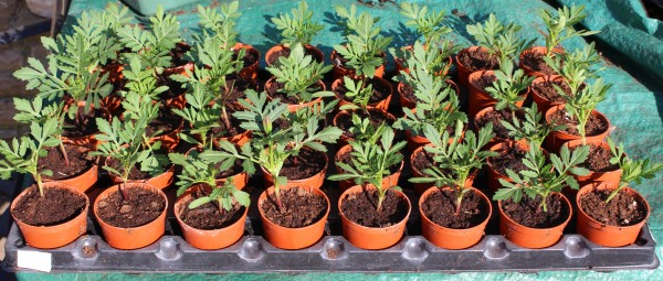 Pricking out marigolds into small pots