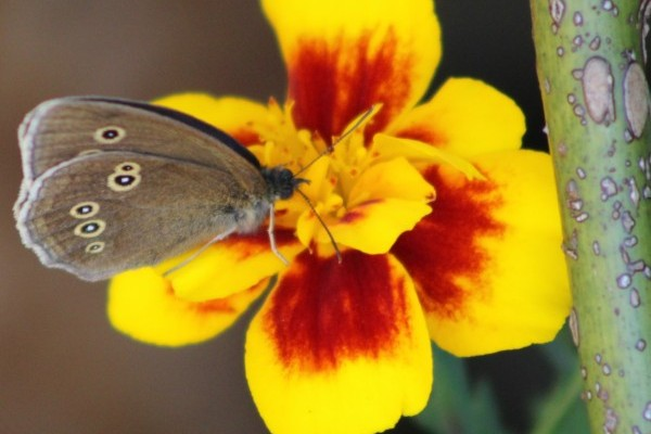 A ringlet on one of my homegrown marigolds