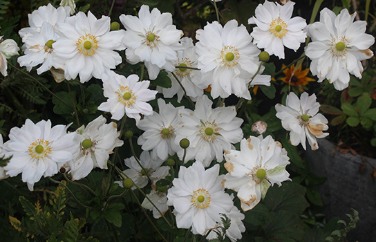 The elegant Japanese anemone