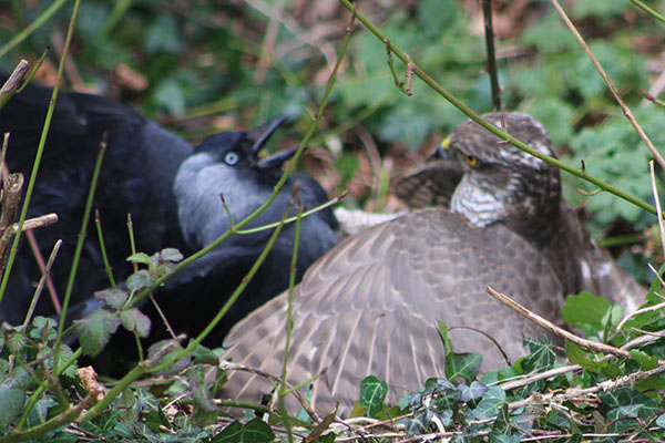 Jackdaw vs sparrowhawk